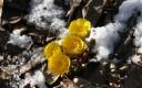 봄을 알리는 황금색 복수초 개화